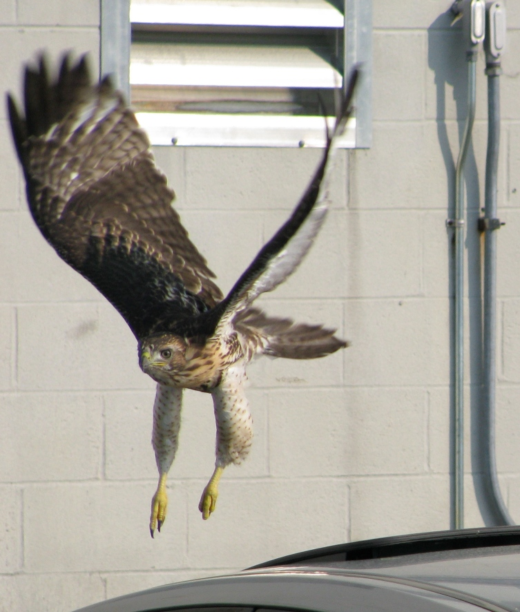 Young red-tailed hawk, just taking off from top of car
